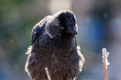 Monedula Corvus галки Стоковое Фото