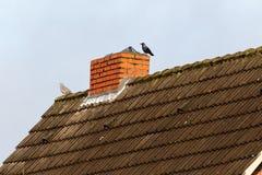 Monedula Corvus галки Стоковое Изображение RF