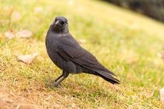 Monedula Corvus на траве Стоковые Изображения RF