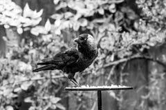 Monedula de Coloeus do Jackdaw que toma o alimento de uma tabela do pássaro do jardim foto de stock royalty free