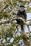moneky黑白的疣猴 库存照片