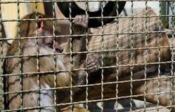 Moneky στο κλουβί Στοκ Εικόνα