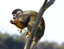 Moneky eekhoorn Royalty-vrije Stock Foto's
