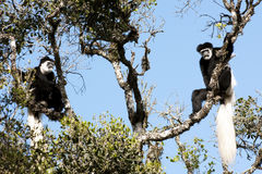 Monekys in bianco e nero del colobus Fotografie Stock