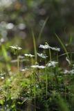 Moneses uniflora Royalty Free Stock Photo
