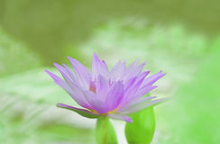 Monet lily Royalty Free Stock Photo