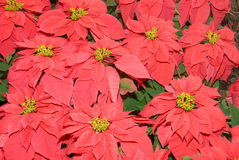 Monet Poinsettia (Euphorbia pulcherrima) Stock Photography