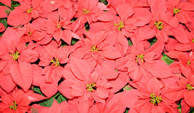 Monet Poinsettia (Euphorbia pulcherrima) Royalty Free Stock Photo