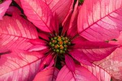 Monet Poinsettias στοκ φωτογραφία με δικαίωμα ελεύθερης χρήσης