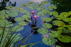 Free Monet Type Water Lillies With Reflection Royalty Free Stock Photography - 160047337