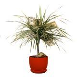 Monetary bush. Dollars growing on the monetary tree isolated on white background Royalty Free Stock Images