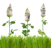 Money Concept. Beautiful Concept image of growing Money Roses.Isolated on a white background stock image