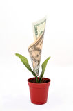 Money Flower. On the white background. business growth concept stock images