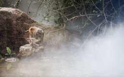 Money in the fog. The macaques constitute a genus (Macaca) of Old World monkeys of the subfamily Cercopithecinae. The twenty-two species of macaques are Royalty Free Stock Image