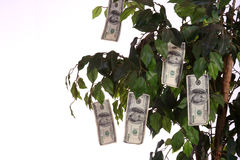 Money growing on a tree. $100 bills growing on a money tree with a white background Royalty Free Stock Photo