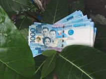 A Bunch of Thousand peso bills. Money growing on trees? Several Philippine peso bills sitting pretty on a plant out in nature royalty free stock photos