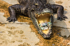Money inside crocodile's mouth, crocodile world, Thailand Royalty Free Stock Photo