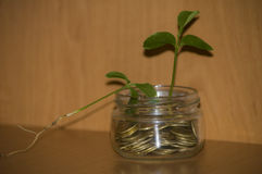 Money in jar. Plant Growing In Savings Coins - Investment And Interest Concept Royalty Free Stock Images
