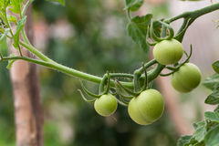 Money Maker tomatoes Royalty Free Stock Photo
