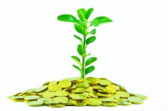 The money plant Royalty Free Stock Image