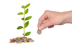 Money plant Stock Images