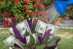 Money plant being watered Royalty Free Stock Photography