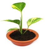Money plant in a bowl Royalty Free Stock Images