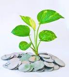 Money plant Stock Images