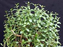 Money plant (Crassula ovata) 2 Royalty Free Stock Images