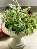 Money plant... European look pot royalty free stock images
