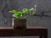 Money plant, golden pothos, Drevi`s ivy, Epipremnum aureum plant.