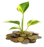 Money plant Royalty Free Stock Image