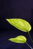 Money plant leaf. Zen Green leaf of  generic 'money plant Royalty Free Stock Images