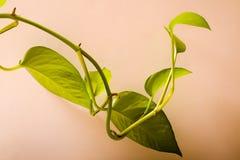 Money plant leaf Stock Photos