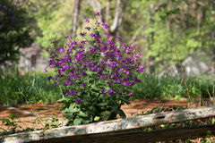 Real Money Plant purple flowers. Money Plants are known for their rounded, coin like, seed pods. The plants are generally self seeding and normally grow as royalty free stock image