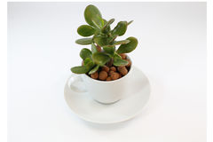 Money plant in a tea cup royalty free stock images