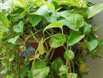 Money Plant twigs. Indoor money plant twigs sprouting out of a pot royalty free stock image