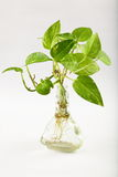 Money plant in water Stock Photos