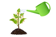 Money plant with watering can. Vector Royalty Free Stock Image