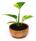 Money plant Stock Photography