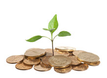 Money seedling. Gold coins and seedling isolated on white Royalty Free Stock Image