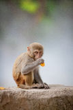Money on the stone. The macaques constitute a genus (Macaca) of Old World monkeys of the subfamily Cercopithecinae. The twenty-two species of macaques are Stock Photography