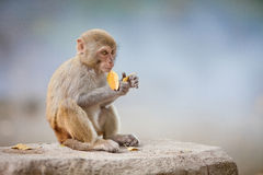 Money on the stone. The macaques constitute a genus (Macaca) of Old World monkeys of the subfamily Cercopithecinae. The twenty-two species of macaques are Stock Photos
