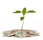 Money Tree. Plant on a pile of money on a white background