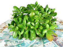 Money Tree. And banknotes on a white background Royalty Free Stock Photos