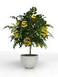 Money tree. In flowerpot isolated on white background Royalty Free Stock Photo