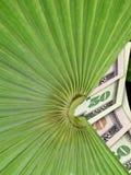 Money Tree. Palm tree stock photo