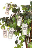 Money Tree. $100 bills growing on a money tree with a white background. Vertical image Royalty Free Stock Photos