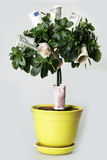 Money tree. In the yellow pot with dollar en eur Stock Photos