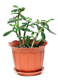 Money tree in brown plastic pot Royalty Free Stock Photo